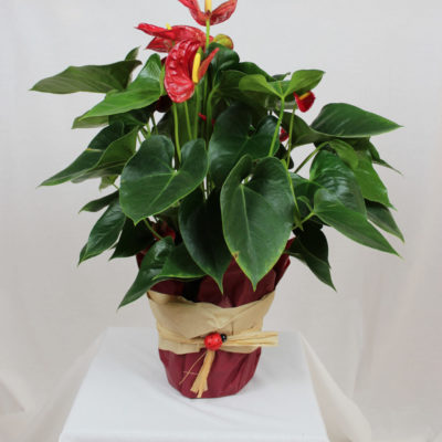 Anthurium in vaso